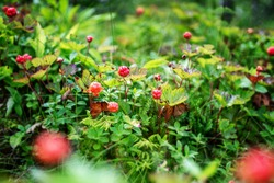 Cloudberry grow in the forest in Norway, wild berries and nothern berries.