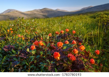 Photo of  Cloudberry (Rubus chamaemorus) berries in the tundra. Wild berry. Summer arctic landscape of a mountain valley. Tundra plants of the polar region. Nature of Chukotka and Siberia. Far East of Russia.