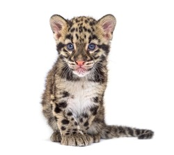 Clouded leopard cub, two months old, Neofelis nebulosa, isolated on white