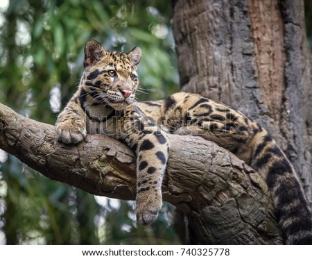 clouded leopard stare #740325778
