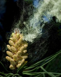 Clouds of pollen leaving the male cones of an Umbrella Pine (Pinus pinea). One source of hay-fever and other allergic reactions common in early summer.