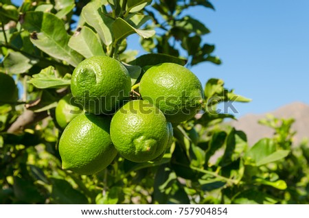 Clouse-up of a lime tree - Shutterstock ID 757904854