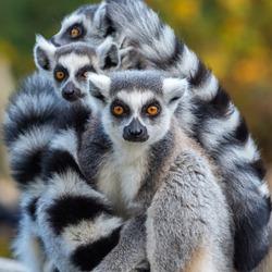 Clouse up Portrait of a Lemur Catta