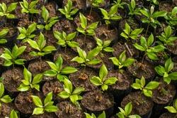Clove seeds belong to farmers in Waai village, Maluku province, Indonesia.