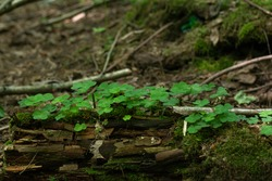Clover - a genus of plants in the family Legume or Fabaceae, the subfamily Moth. plants grow on an old rotten stump. selective focus