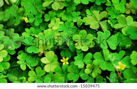 clover carpet texture green tones - stock photo