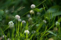 Clover flower in a grass. Clover flower close up. Wild flowers. Forest flowers. Meadow flowers.