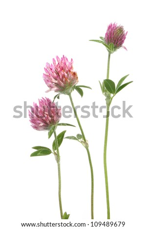 Clover flowers and leaves isolated against white #109489679