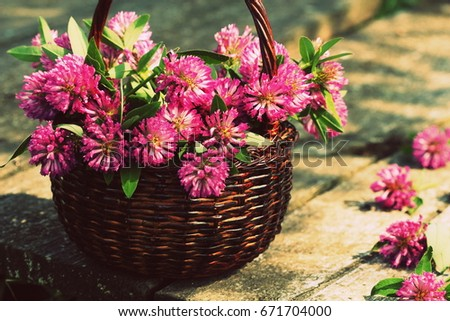 Clover flowers in a basket. Herbs harvesting of medicinal raw materials #671704000