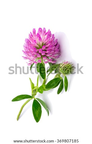 clover flowers isolated on white background #369807185