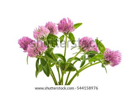 Clover flowers isolated on white background #544158976