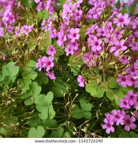 Clover (Genus Trifolium) with heart-shaped leaves as a symbol of luck and small pink flowers #1142726240