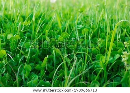 clover grass beautiful green background Photo stock ©