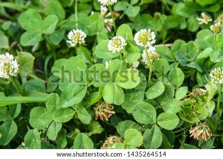 clover leaf with four leaves for good luck #1435264514