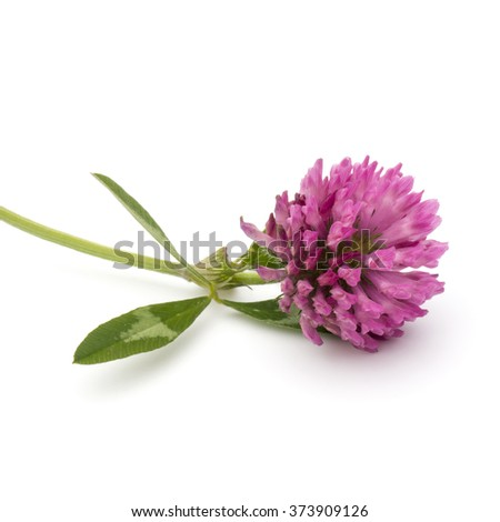 Clover or trefoil flower medicinal herbs isolated on white background cutout #373909126