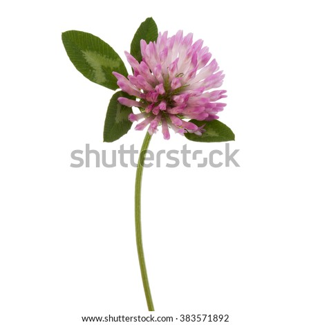 Clover or trefoil flower medicinal herbs isolated on white background cutout #383571892
