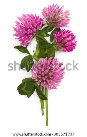 Clover or trefoil flower medicinal herbs isolated on white background cutout #383571937