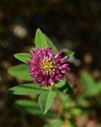 Clover ( Trifolium medium ) growing in forest on dark background. Flowering zigzag clover. Flowering red plant.