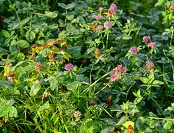 Clover with dewdrops in early morning. Landscape park, Moscow, Russia