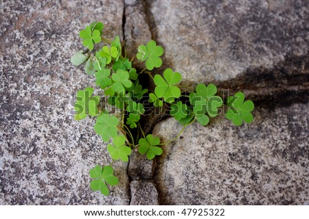 Clovers growing from rock cracks