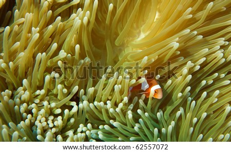clown anemone fish with anemone