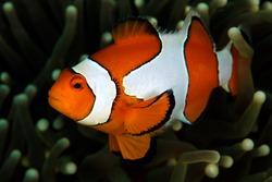 Clown Anemonefish (Amphiprion ocellaris, aka Ocallaris Clownfish) in Anemone. Triton Bay, West Papua, Indonesia