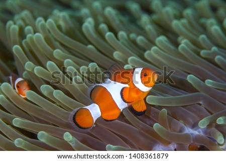 Clown Anemonefish, Amphiprion percula, swimming among the tentacles of its anemone home. #1408361879