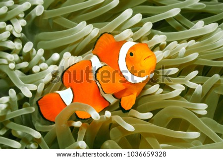 Clown Anemonefish, Amphiprion percula, swimming among the tentacles of its anemone home. Uepi, Solomon Islands #1036659328