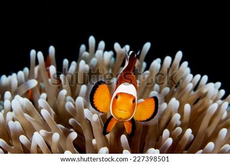 Stock Photo Clown Anemonefish in Anemone