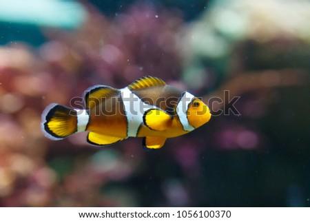clown anemonefish swimming in the water