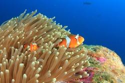 Clown anemonefish tropical fish
