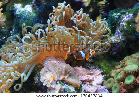 Clown fish and anemone