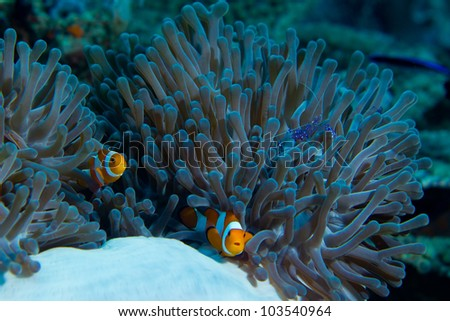 Stock Photo Clown fish and shrimp live together in this anemone.