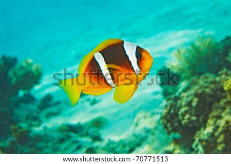 Clown Fish, blue water, coral reef - Amphiprion bicinctus. Red sea anemonefish.
