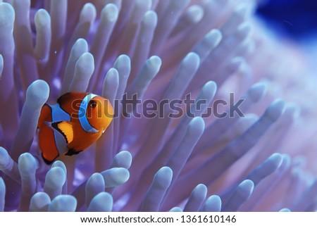 clown fish coral reef / macro underwater scene, view of coral fish, underwater diving #1361610146