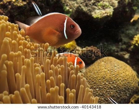 Clown fish Great Barrier Reef Australia
