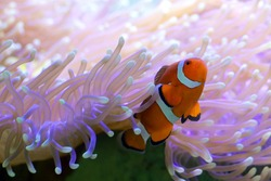 Clown fish hiding in colorful anemone