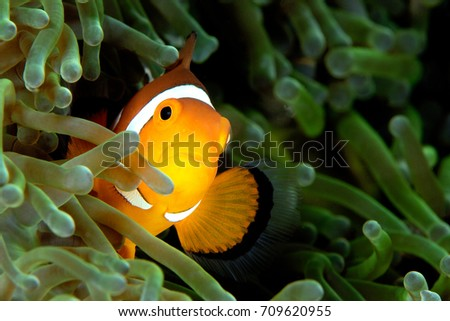 Clown fish in a green anemone #709620955
