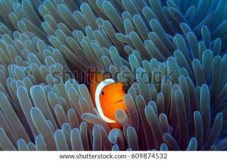 Stock Photo Clown fish in Anemone