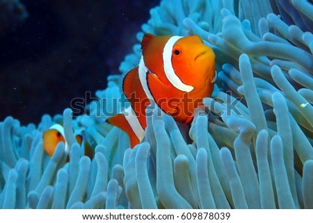 Clown fish in anemone #609878039