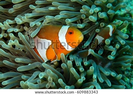 Clown fish in Anemone #609883343