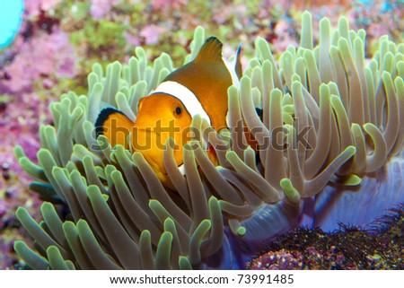 Clown Fish in Anemone Aquarium