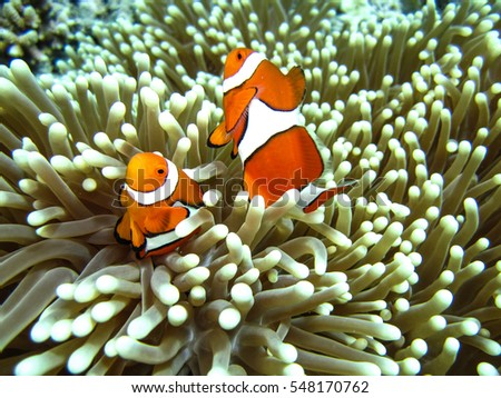 Clown Fish in Anemone, Great Barrier Reef, Australia #548170762