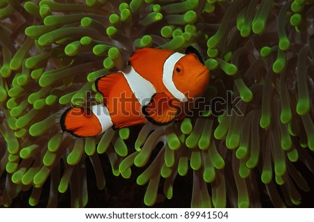 Clown fish in green anemone - stock photo