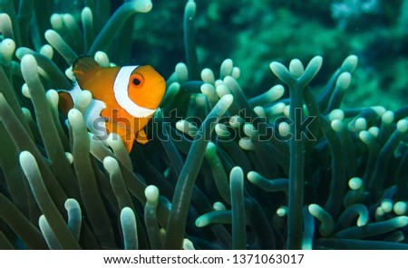 Clown fish in his anemone #1371063017