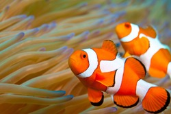 Clown fish in Indonesia