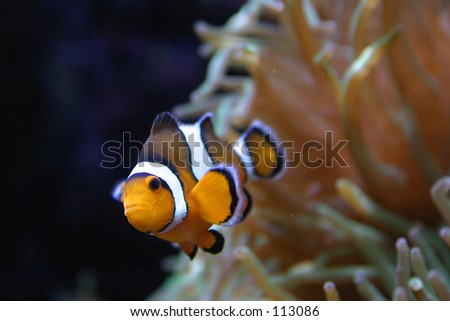 Clown fish in Lisbon Oceanarium