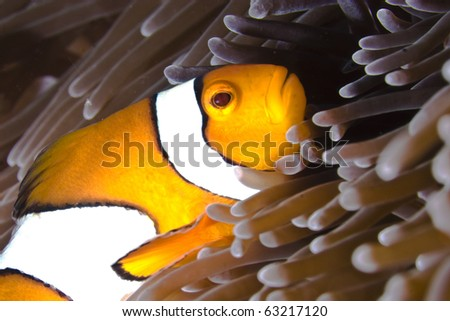 Clown fish in sea anemone on coral reef