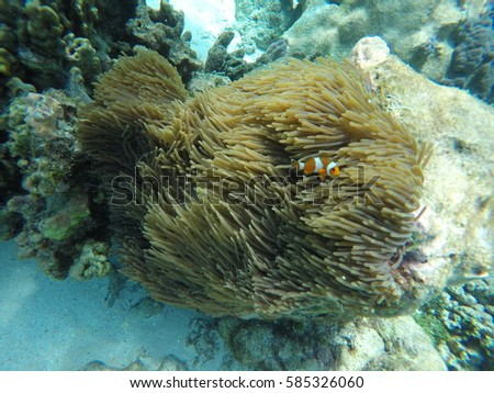 Clown fish in the sea. Stok fotoğraf ©