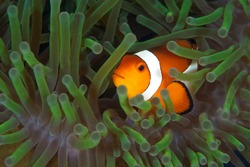 Clown fish inside anemone